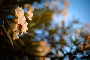 White oleander, Bokeh, Liguria, Italy