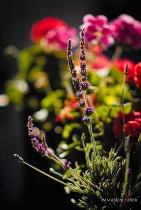 Lavender flowers, Bokeh